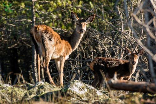 Veado-Verde---Green-Deer-08091